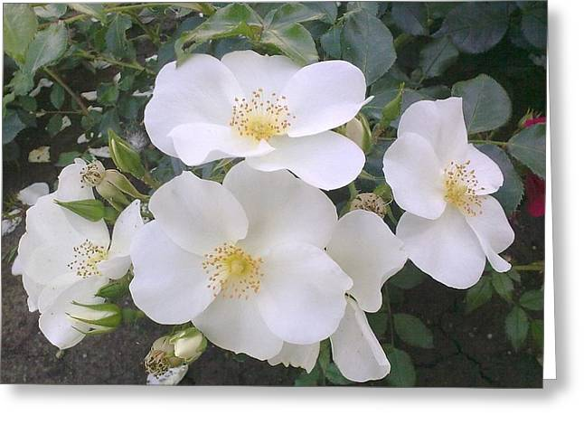 White Roses Bloom Greeting Card
