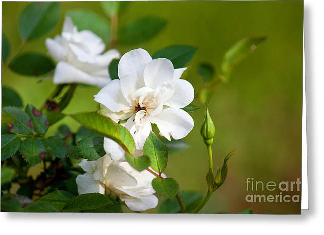 White Roses Greeting Card by Lena Auxier