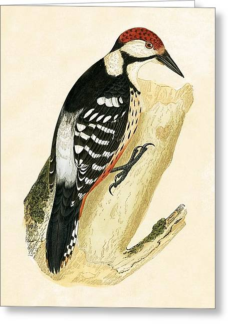 White Rumped Woodpecker Greeting Card by English School