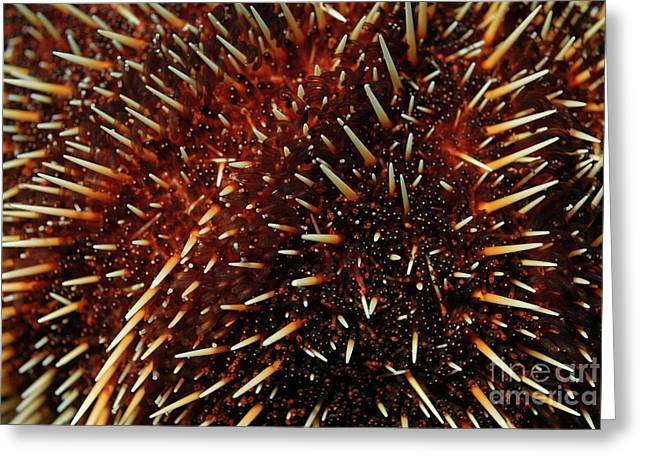 White Sea Urchin Greeting Card by Sami Sarkis