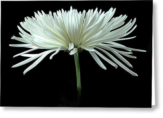 Spider flower greeting cards page 10 of 118 fine art america white spider mum greeting card mightylinksfo