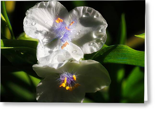 White Spiderwort Greeting Card