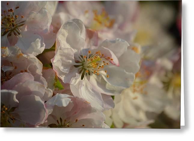 White Spring Blossom Greeting Card by Jimi Bush