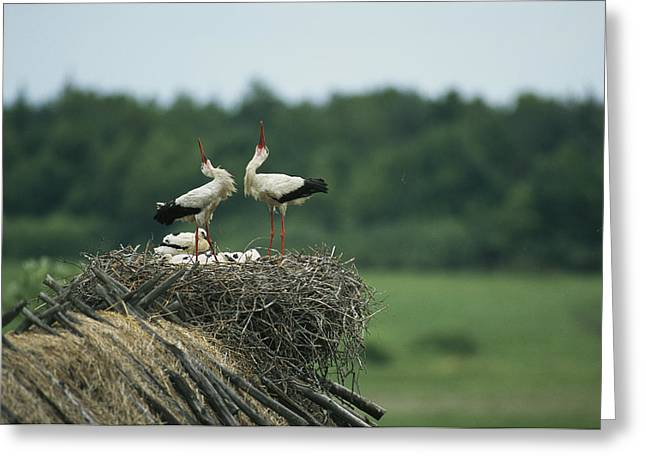 White Storks Displaying In Their Nest Greeting Card by Klaus Nigge