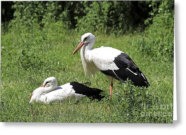 White Storks Greeting Card by Teresa Zieba