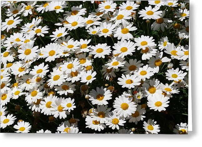 White Summer Daisies Greeting Card by Christine Till
