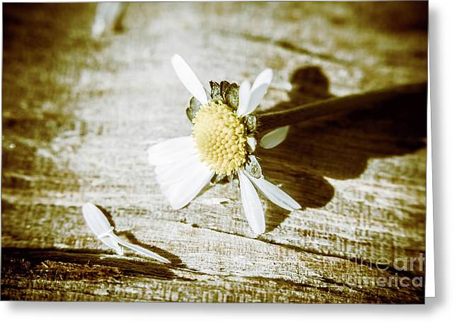 White Summer Daisy Denuded Of Its Petals Greeting Card
