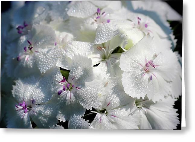 White Sweet William Flower Square Greeting Card by Karen Adams