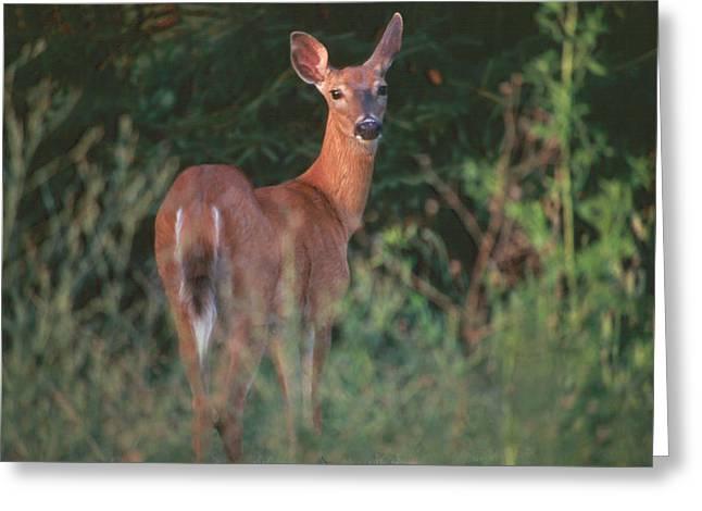 White-tail Deer Greeting Card by Raju Alagawadi