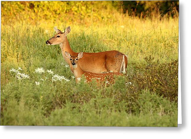 White-tail Doe And Fawn In Meadow Greeting Card