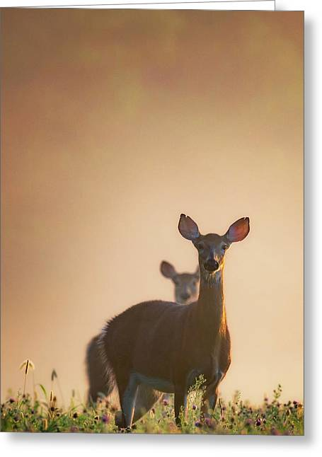 White-tailed Deer 2016 Greeting Card