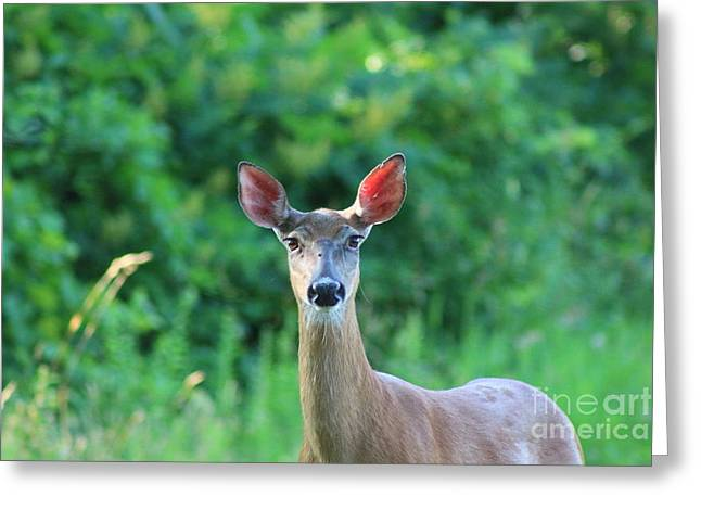 White-tailed Deer Close Encounter  Greeting Card