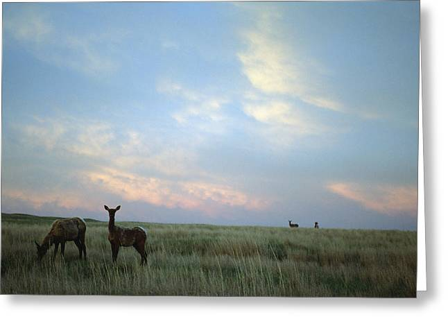 White-tailed Deer On The Prairie Greeting Card
