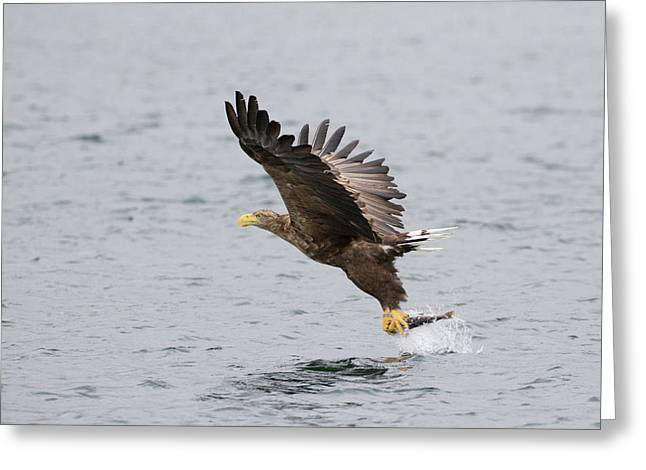White-tailed Eagle Catching Dinner Greeting Card