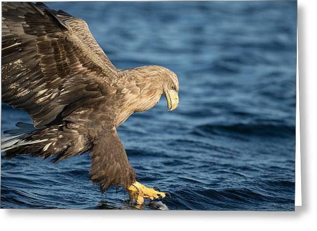 White-tailed Eagle Hunting Greeting Card by Andy Astbury