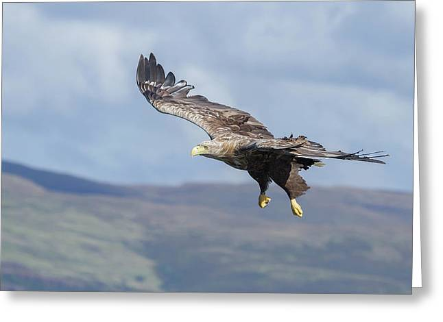 White-tailed Eagle On Mull Greeting Card