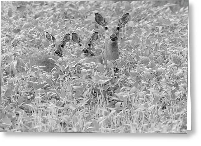 White-tailed Family 2017-1 Greeting Card