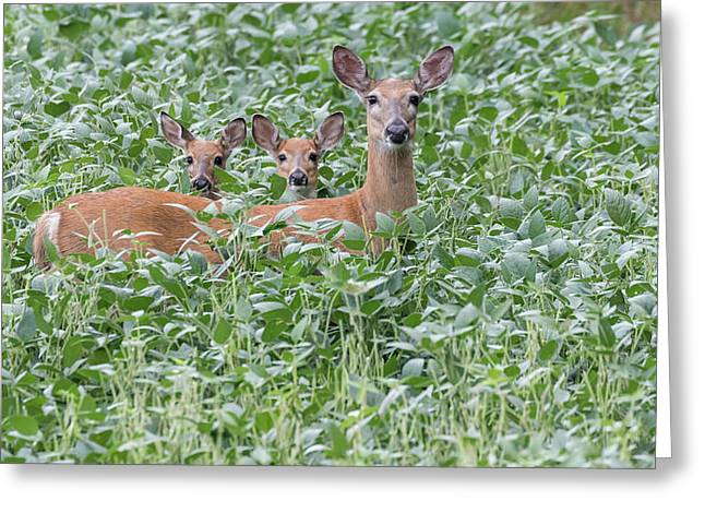 White-tailed Family 2017 Greeting Card