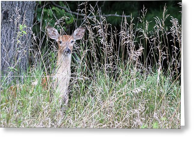White-tailed Fawn 2017-2 Greeting Card