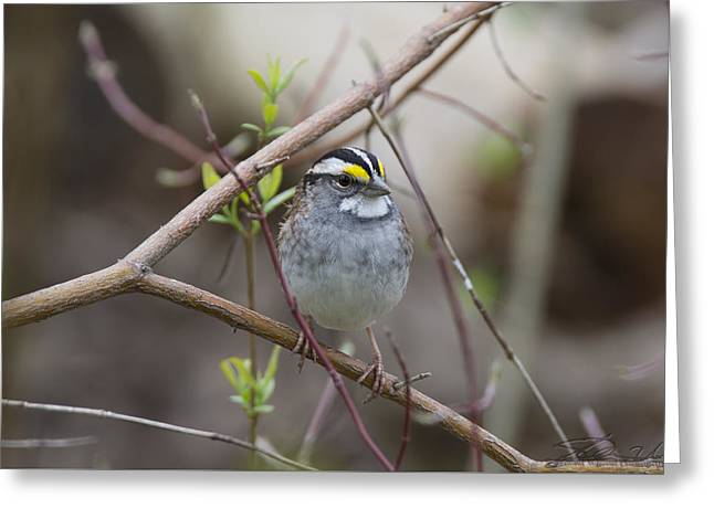 White Throat Greeting Card