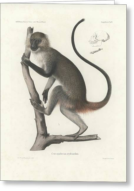 White Throated Guenon, Cercopithecus Albogularis Erythrarchus Greeting Card by J D L Franz Wagner