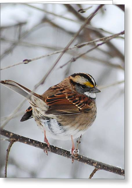 White Throated Sparrow 2 Greeting Card by Michael Peychich
