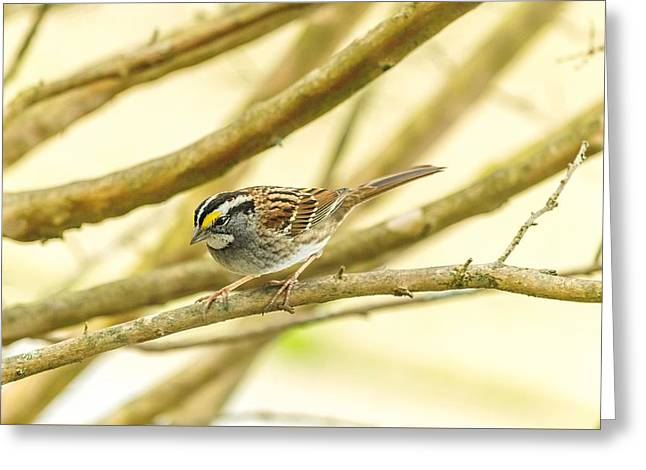 White Throated Sparrow Greeting Card