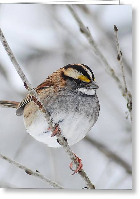 White Throated Sparrow Greeting Card by Michael Peychich