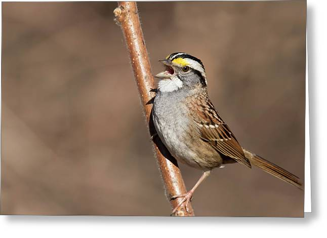 Greeting Card featuring the photograph White-throated Sparrow by Mircea Costina Photography