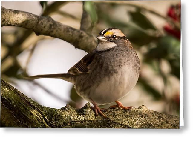 White Throated Sparrow On Branch New Jersey Greeting Card by Terry DeLuco