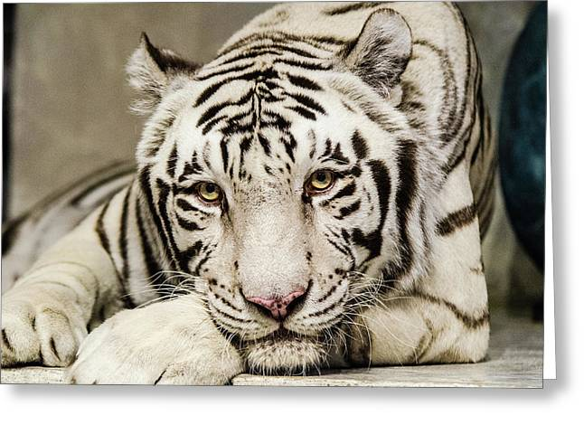 White Tiger Looking At You Greeting Card
