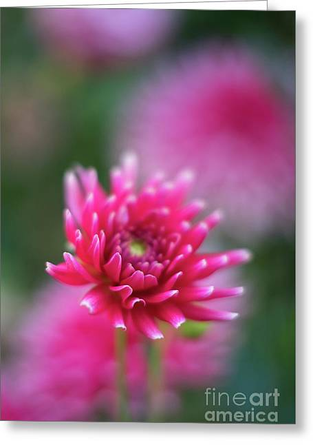White Tipped Dahlia Beauty Greeting Card
