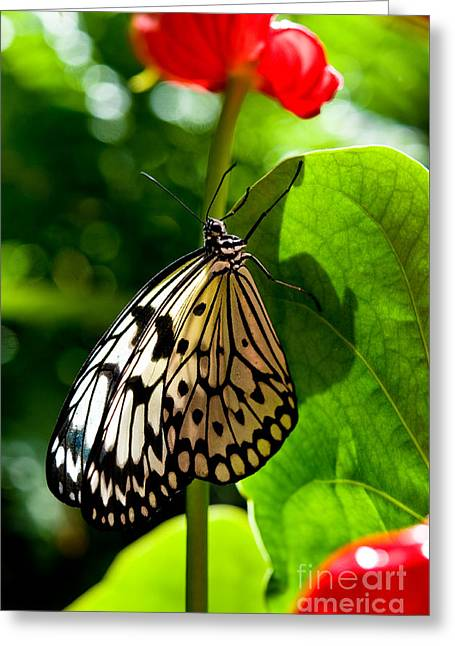White Tree Nymph Butterfly 1 Greeting Card