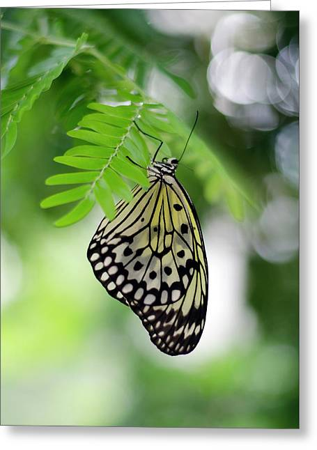White Tree Nymph Butterfly 2 Greeting Card