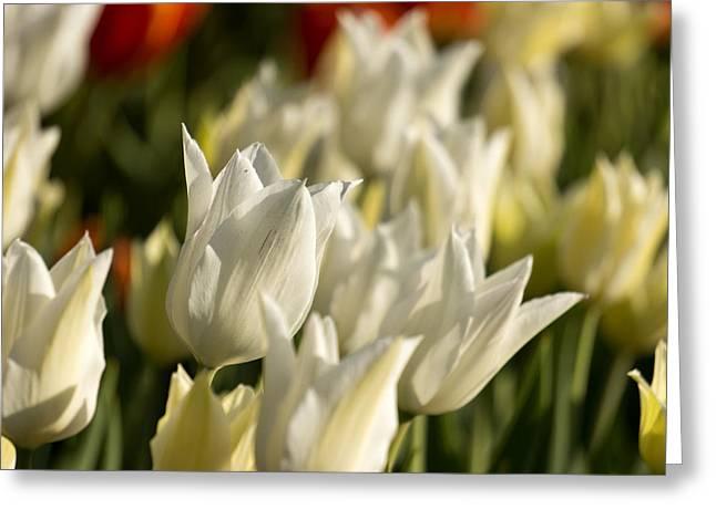 White Triumphator Greeting Card