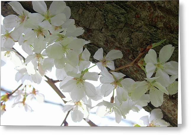 Greeting Card featuring the photograph Dogwood Branch by Melinda Blackman