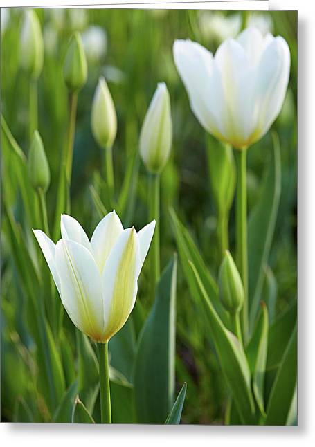 White Tulip Greeting Card