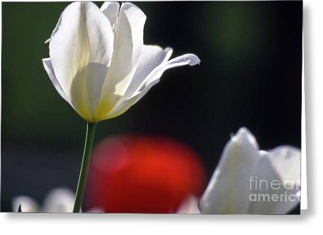 White Tulips  Blossom Greeting Card by Heiko Koehrer-Wagner