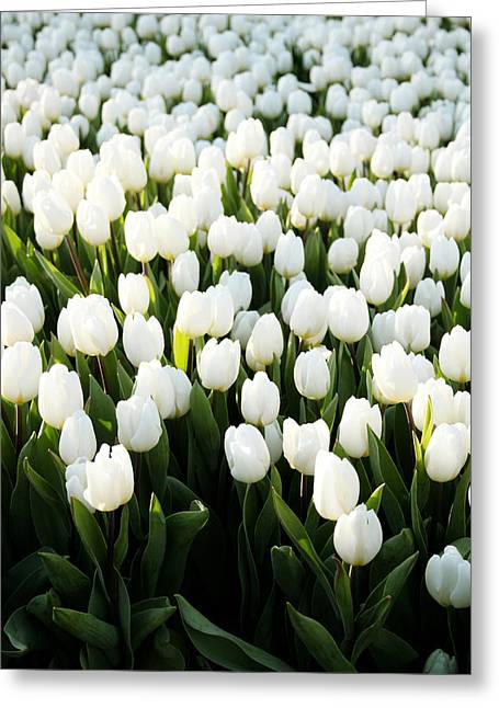 White Tulips In The Garden Greeting Card by Linda Woods
