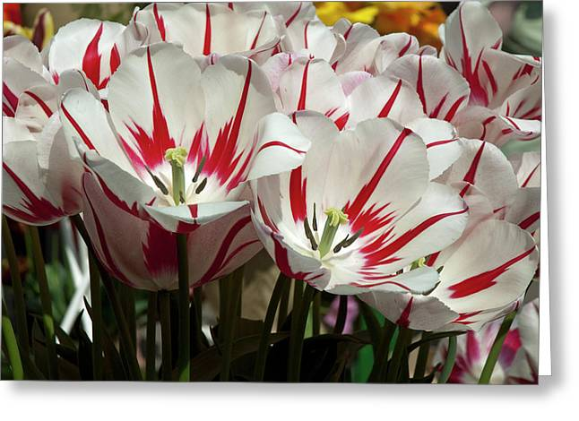Photos With Red Greeting Cards - White Tulips with red stripes Greeting Card by Robert Shard