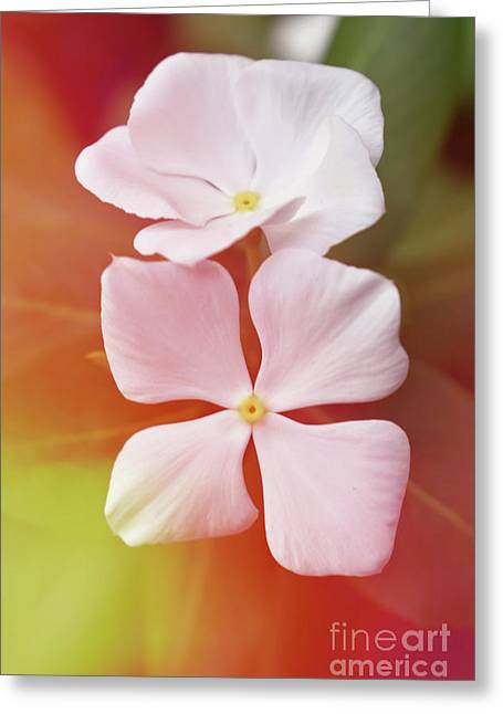 White Vinca With Vivid Highligts  Greeting Card