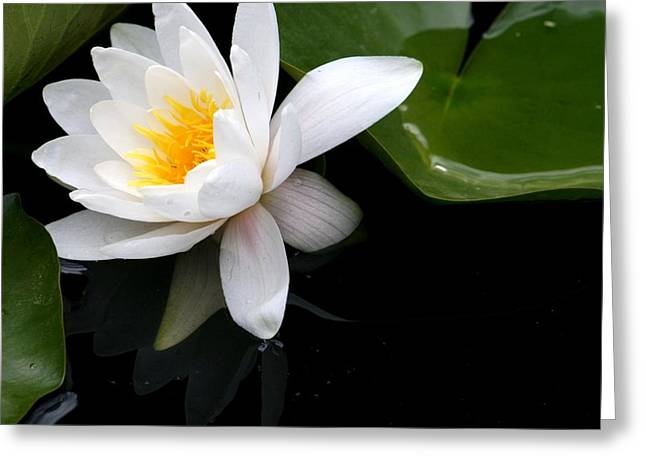 White Water Lilly Greeting Card