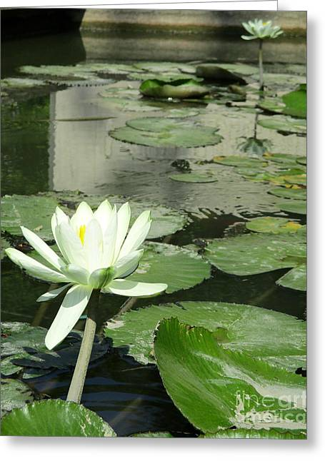 White Water Lily 3 Greeting Card by Randall Weidner