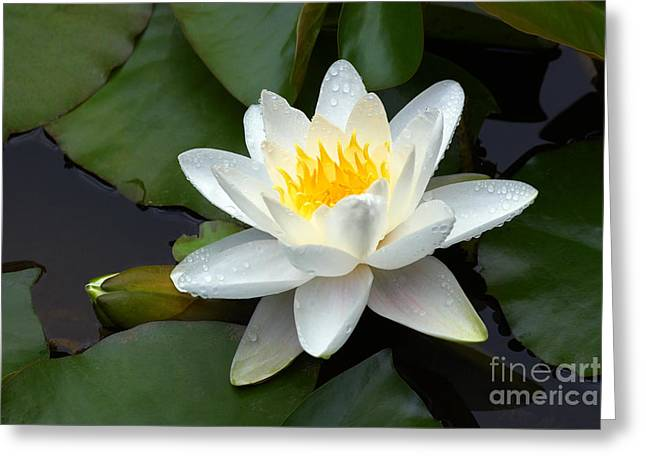 White Water Lily And Bud Greeting Card by Susan Isakson