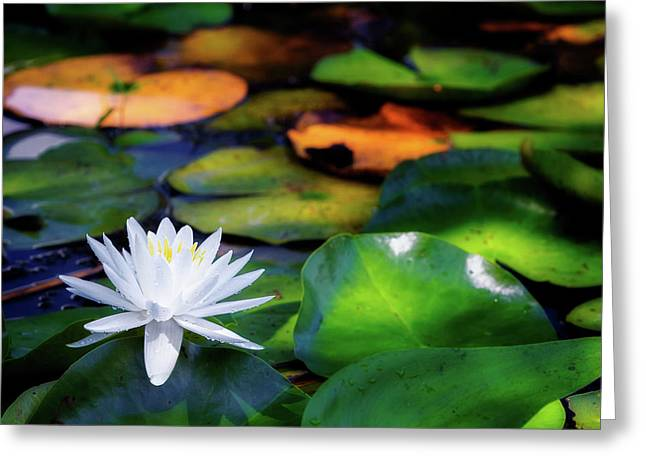 White Water Lily Greeting Card by Bill Wakeley