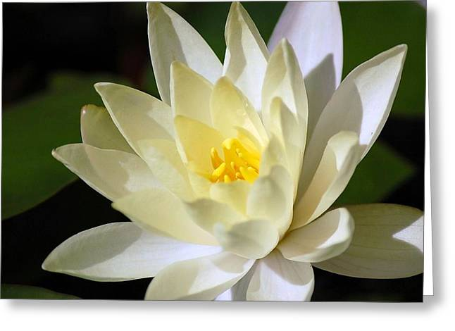 White Water Lily Greeting Card by Donna Bentley