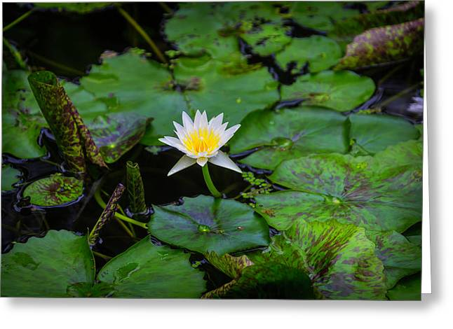 White Water Lily Greeting Card by Garry Gay