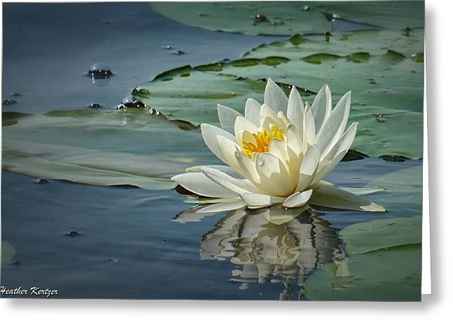White Water Lily Greeting Card by Heather Kertzer