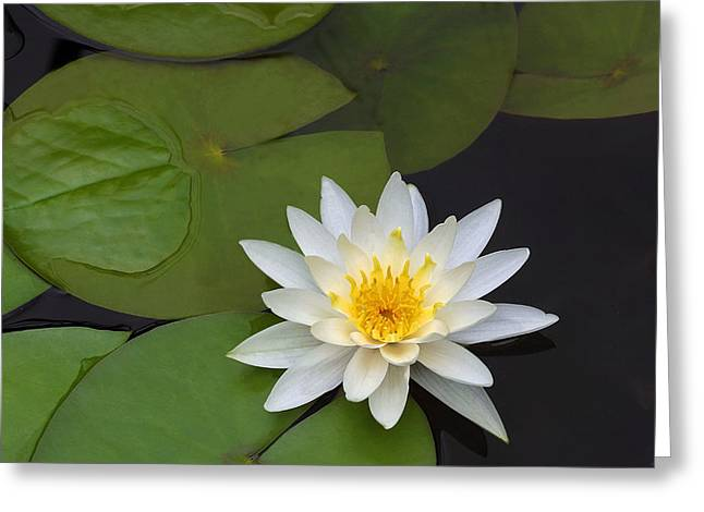 White Water Lily Greeting Card by Linda Phelps
