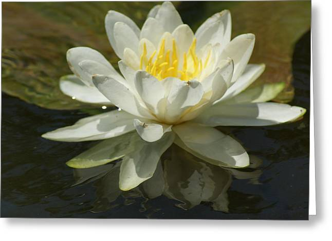 Greeting Card featuring the photograph White Water Lily by Ron Read